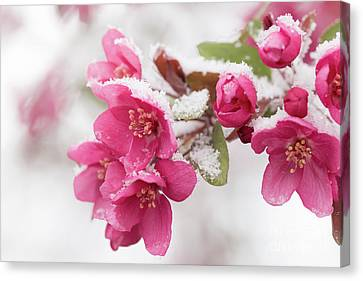Canvas Print featuring the photograph The End Of Winter by Ana V Ramirez