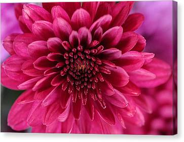 The Eye Of Pink Flower Canvas Print