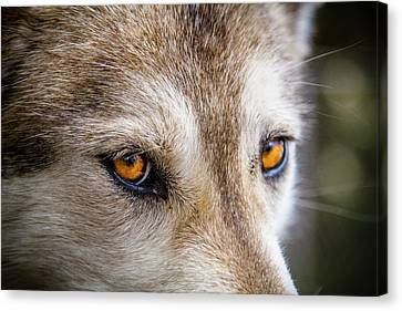 Canvas Print featuring the photograph The Eyes Of A Great Grey Wolf by Teri Virbickis