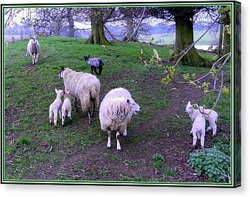 Lambing Canvas Print - The Family Reunion by Mindy Newman