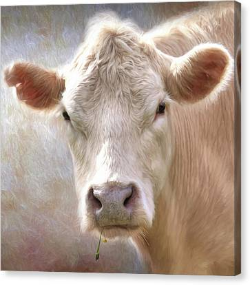 Counry Canvas Print - The Farmer's White Cow by Lori Deiter