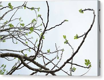 The Fig Tree Budding Canvas Print