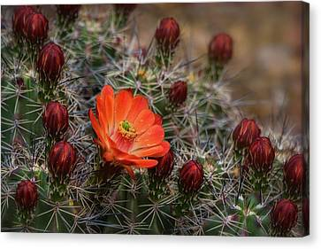 Canvas Print featuring the photograph The First Bloom  by Saija Lehtonen