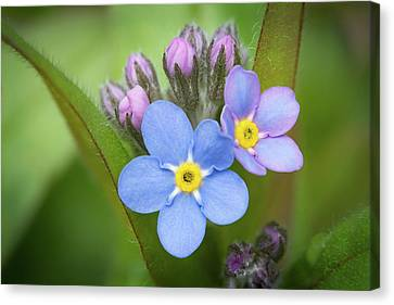 Canvas Print featuring the photograph The First Blossom Of The Forget Me Not by William Lee