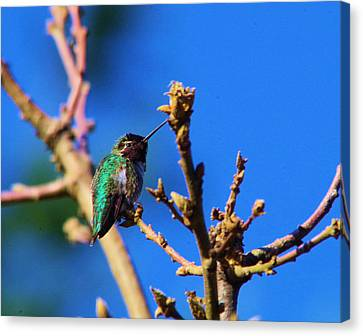 The First Hummingbird Canvas Print by Jeff Swan