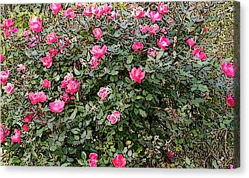 Canvas Print featuring the photograph Rose Bush by Skyler Tipton