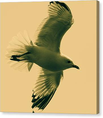 Flying Seagull Canvas Print - The Flying Seagull  by Tommytechno Sweden