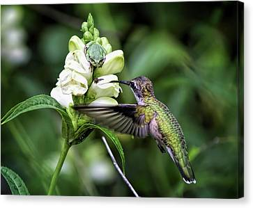 The Frog And The Hummingbird Canvas Print