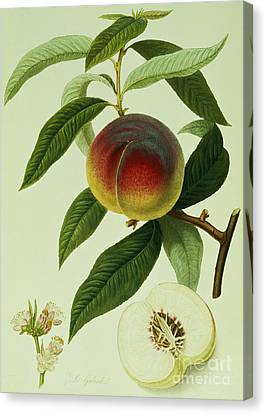 Peach Canvas Print - The Galande Peach by William Hooker