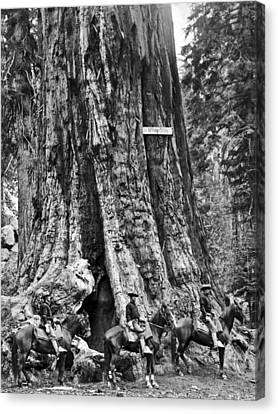 The General Grant Tree Canvas Print by Underwood Archives