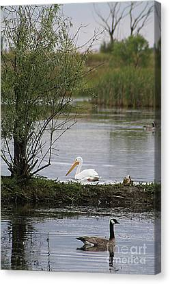 Canvas Print featuring the photograph The Goose And The Pelican by Alyce Taylor