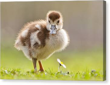The Gosling And The Flower Canvas Print by Roeselien Raimond