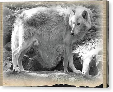 The Gray Wolf Canvas Print by Debra     Vatalaro
