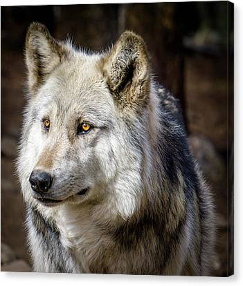 Canvas Print featuring the photograph The Gray Wolf by Teri Virbickis