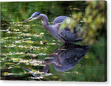 The Great Blue Heron Hunting For Food Canvas Print by David Gn