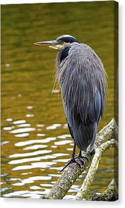 The Great Blue Heron Perched On A Tree Branch Canvas Print by David Gn