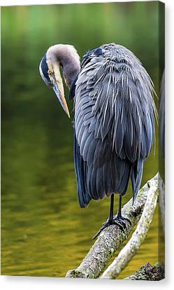 The Great Blue Heron Perched On A Tree Branch Preening Canvas Print by David Gn