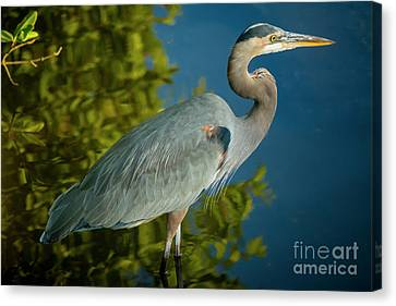 The Great Blue Canvas Print by Quinn Sedam