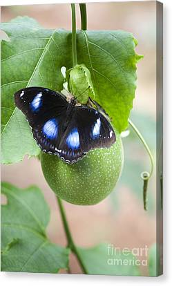 Passion Fruit Canvas Print - The Great Eggfly Butterfly by Tim Gainey