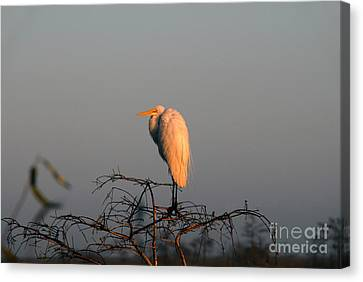 The Great Egret  Canvas Print by David Lee Thompson