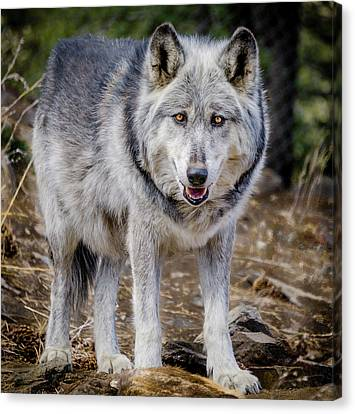 Canvas Print featuring the photograph The Great Gray Wolf by Teri Virbickis