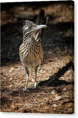 The Greater Roadrunner Walk  Canvas Print by Saija Lehtonen