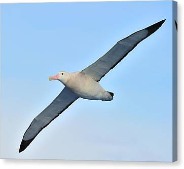 The Greatest Seabird Canvas Print by Tony Beck