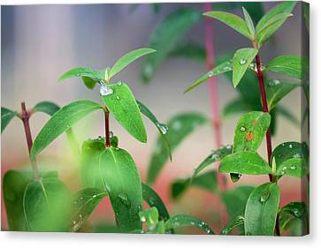 The Green Key Of Life  Canvas Print by Nicole Frischlich