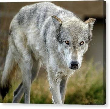 The Grey Wolf Shake Canvas Print