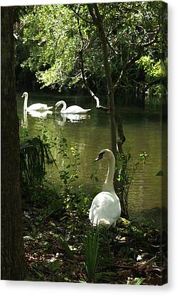 The Guard Swan Canvas Print