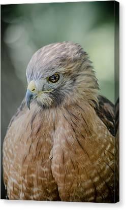 The Hawk Canvas Print by David Collins