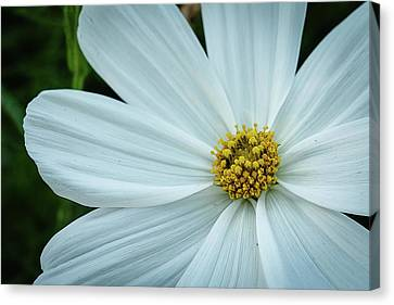 The Heart Of The Daisy Canvas Print