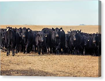 Angus Steer Canvas Print - The Herd Rushes In by Todd Klassy