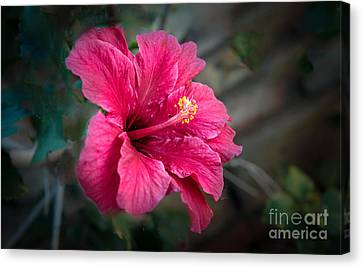 The Hibiscus Canvas Print by Robert Bales