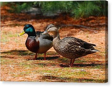The Honeymooners - Mallard Ducks  Canvas Print