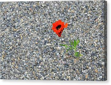 The Hopeful Poppy Canvas Print by Michael Bessler