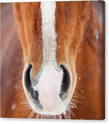 The Horse Collection #2 Canvas Print by Tom Cuccio