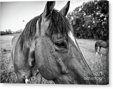 the Horses of Blue Ridge 1 Canvas Print