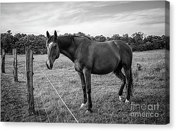 the Horses of Blue Ridge 2 Canvas Print