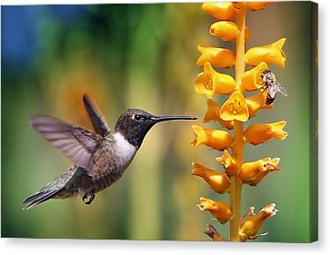 The Hummingbird And The Bee Canvas Print by William Lee