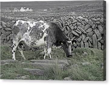 The Ireland Moo Canvas Print by Betsy Knapp