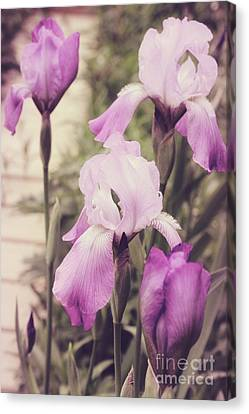 The Iris Undaunted Canvas Print by Mindy Sommers