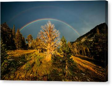 The Juniper's Last Crown Canvas Print by Dan Holmes