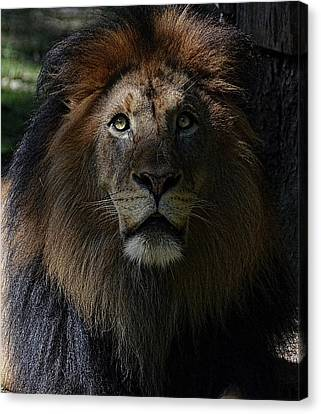 The King In Awe Canvas Print by Ronda Ryan