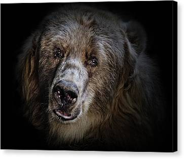 The Kodiak Bear Canvas Print by Animus Photography