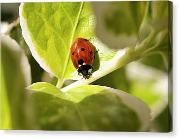 The Ladybug  Canvas Print