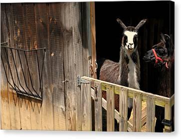 The Llama Barn Canvas Print