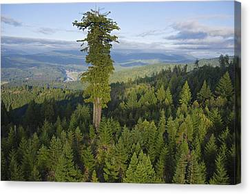 Pacific Coast States Canvas Print - The Largest Patch Of Old Growth Redwood by Michael Nichols
