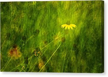 The Last Black-eyed Susan Canvas Print by  Onyonet  Photo Studios