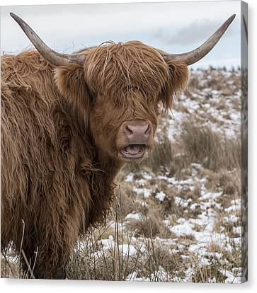 The Laughing Cow, Scottish Version Canvas Print